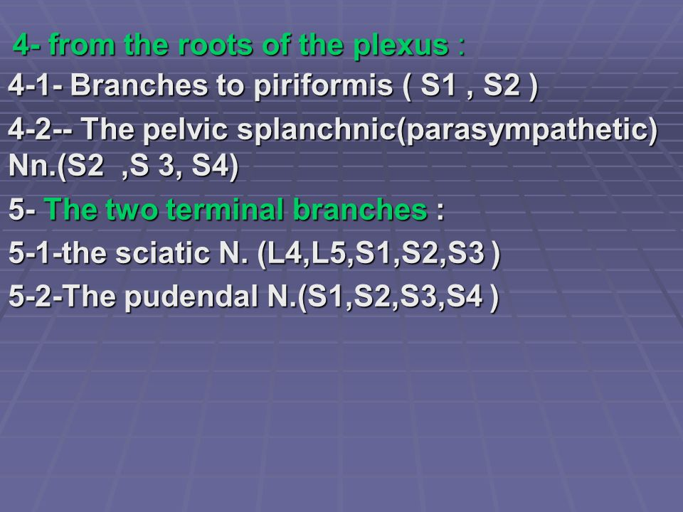 4- from the roots of the plexus : 4-1- Branches to piriformis ( S1, S2 ) 4-2-- The pelvic splanchnic(parasympathetic) Nn.(S2,S 3, S4) 5- The two termi