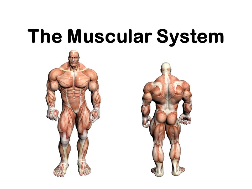 or Everything you ever wanted to know about Muscles, but were afraid to ask !!!