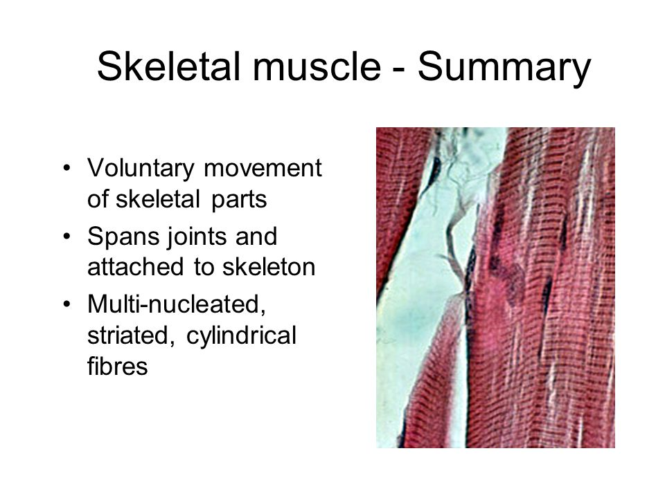 Skeletal muscle - Summary Voluntary movement of skeletal parts Spans joints and attached to skeleton Multi-nucleated, striated, cylindrical fibres