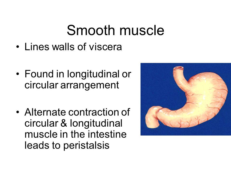 Smooth muscle Lines walls of viscera Found in longitudinal or circular arrangement Alternate contraction of circular & longitudinal muscle in the inte