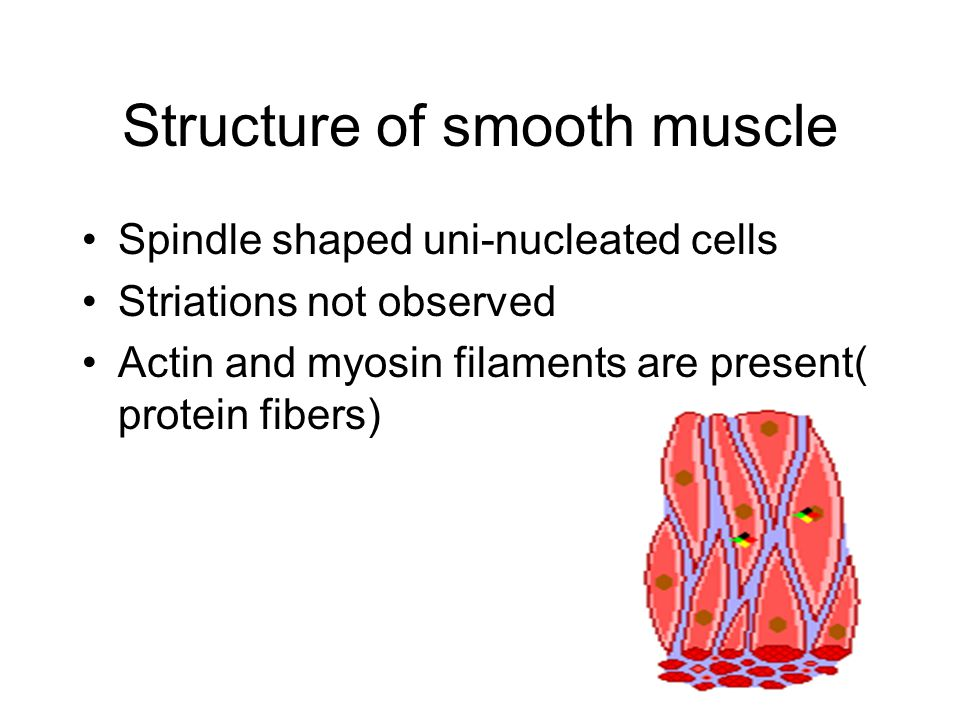 Structure of smooth muscle Spindle shaped uni-nucleated cells Striations not observed Actin and myosin filaments are present( protein fibers)