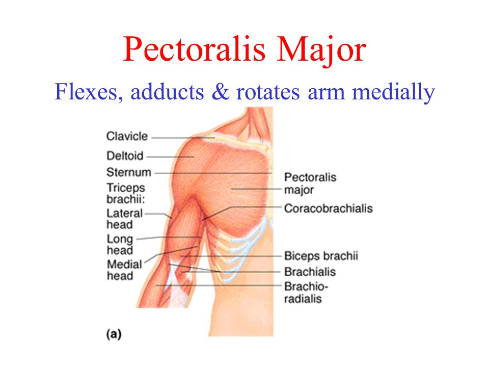 Pectoralis Major Flexes, adducts & rotates arm medially