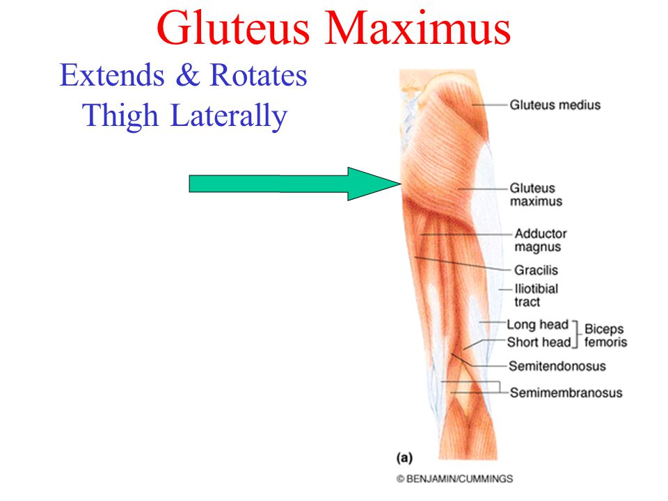 Gluteus Maximus Extends & Rotates Thigh Laterally