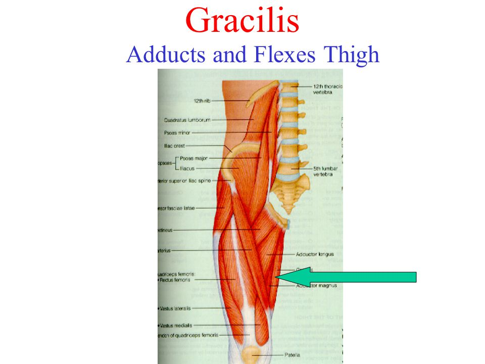 Gracilis Adducts and Flexes Thigh