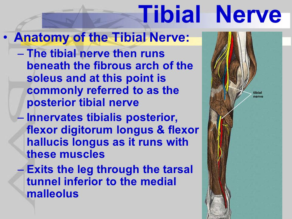 Tibial Nerve Anatomy of the Tibial Nerve: –Tarsal tunnel has osseous base and roof is the flexor retinaculum –Exits the tarsal tunnel & gives off the medial calcaneal nerve.