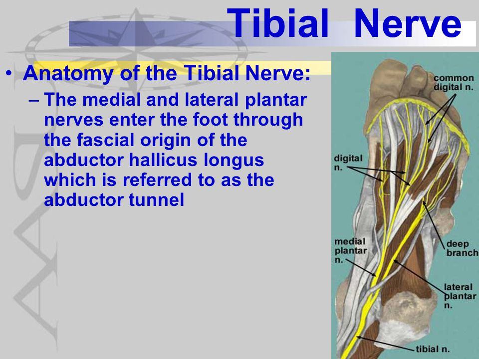 Tibial Nerve Tibial Neuropathies: –Damage in or around the popliteal fossa –Damage in the tarsal tunnel (tarsal tunnel syndrome)