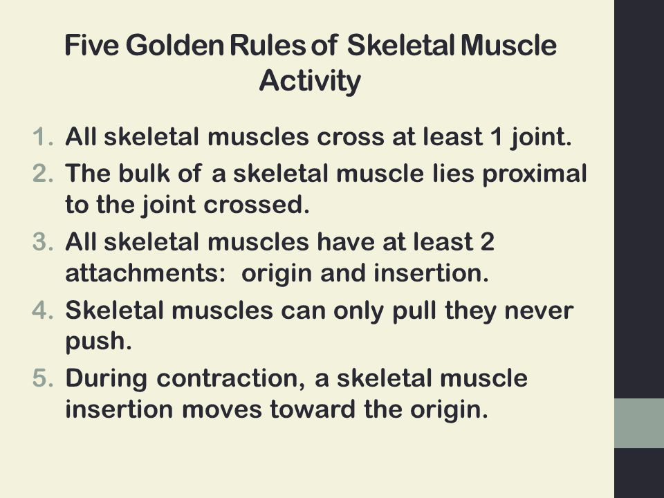 Five Golden Rules of Skeletal Muscle Activity 1.All skeletal muscles cross at least 1 joint. 2.The bulk of a skeletal muscle lies proximal to the join
