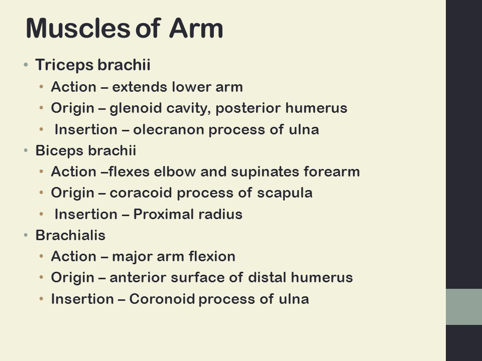 Muscles of Arm Triceps brachii Action – extends lower arm Origin – glenoid cavity, posterior humerus Insertion – olecranon process of ulna Biceps brac