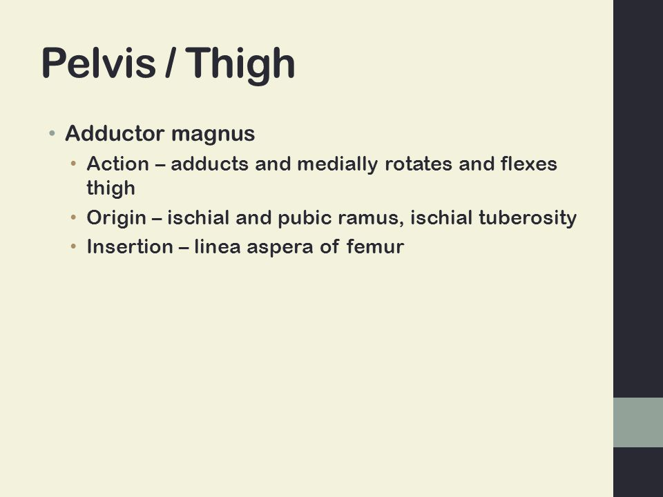 Pelvis / Thigh Adductor magnus Action – adducts and medially rotates and flexes thigh Origin – ischial and pubic ramus, ischial tuberosity Insertion –