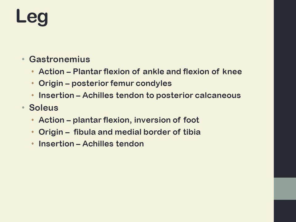 Leg Gastronemius Action – Plantar flexion of ankle and flexion of knee Origin – posterior femur condyles Insertion – Achilles tendon to posterior calcaneous Soleus Action – plantar flexion, inversion of foot Origin – fibula and medial border of tibia Insertion – Achilles tendon