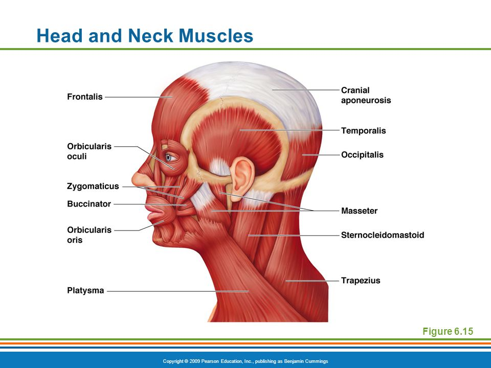 Copyright © 2009 Pearson Education, Inc., publishing as Benjamin Cummings Head and Neck Muscles Figure 6.15
