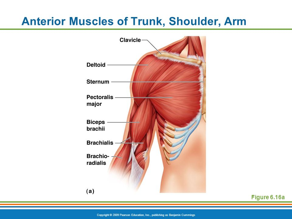 Copyright © 2009 Pearson Education, Inc., publishing as Benjamin Cummings Anterior Muscles of Trunk, Shoulder, Arm Figure 6.16a