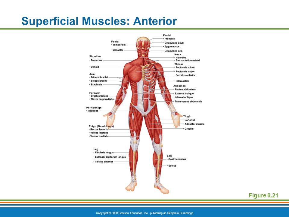 Copyright © 2009 Pearson Education, Inc., publishing as Benjamin Cummings Superficial Muscles: Anterior Figure 6.21