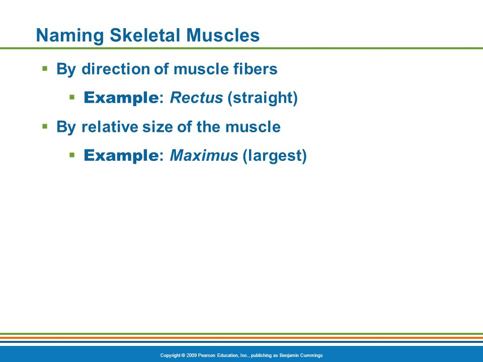 Copyright © 2009 Pearson Education, Inc., publishing as Benjamin Cummings Naming Skeletal Muscles  By direction of muscle fibers  Example : Rectus (straight)  By relative size of the muscle  Example : Maximus (largest)