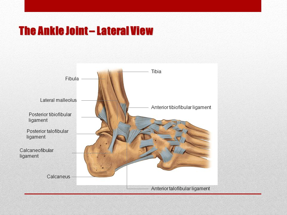 The Ankle Joint – Lateral View Tibia Fibula Posterior tibiofibular ligament Lateral malleolus Anterior tibiofibular ligament Anterior talofibular ligament Calcaneus Posterior talofibular ligament Calcaneofibular ligament
