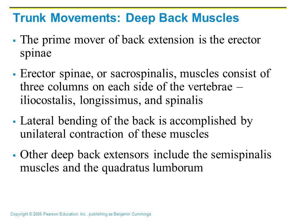Copyright © 2006 Pearson Education, Inc., publishing as Benjamin Cummings Trunk Movements: Deep Back Muscles  The prime mover of back extension is th