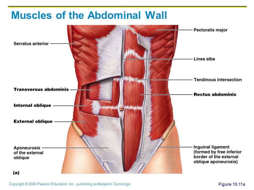 Copyright © 2006 Pearson Education, Inc., publishing as Benjamin Cummings Muscles of the Abdominal Wall Figure 10.11a