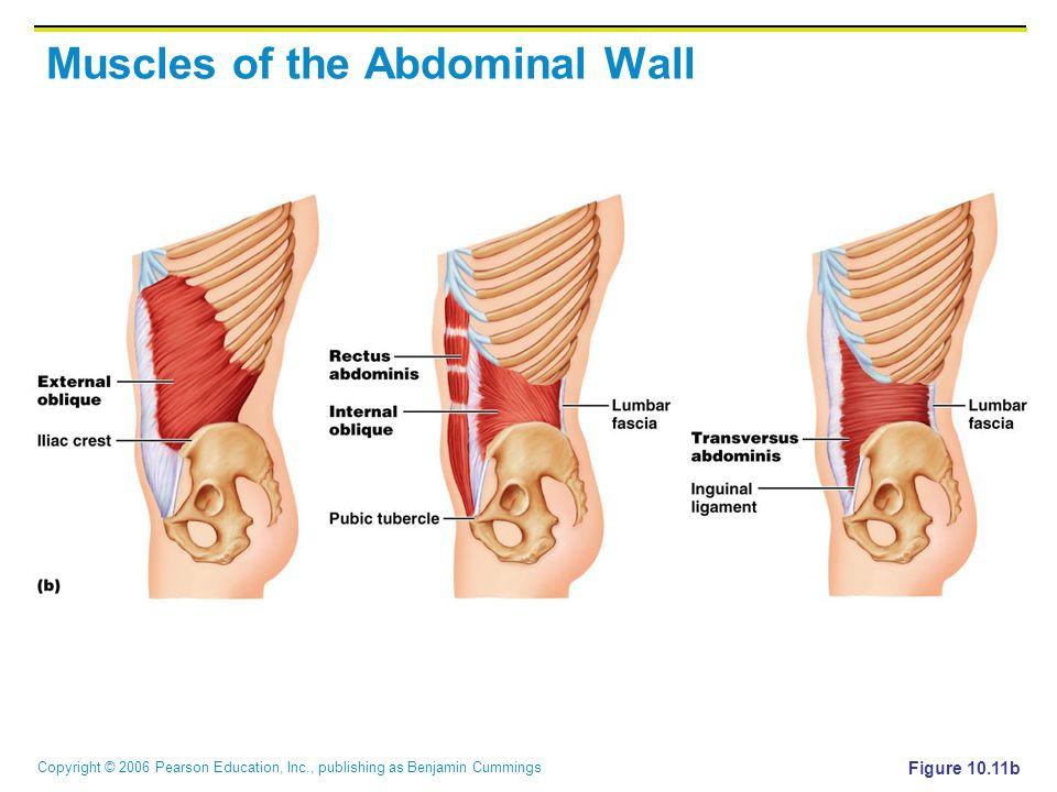 Copyright © 2006 Pearson Education, Inc., publishing as Benjamin Cummings Muscles of the Abdominal Wall Figure 10.11b
