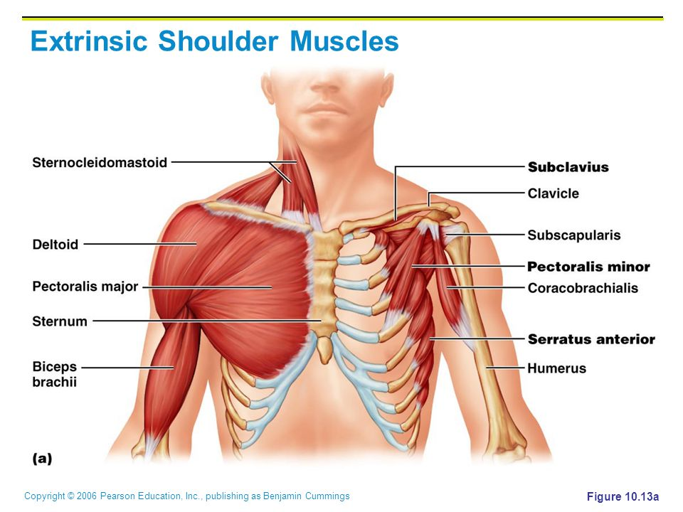 Copyright © 2006 Pearson Education, Inc., publishing as Benjamin Cummings Extrinsic Shoulder Muscles Figure 10.13a