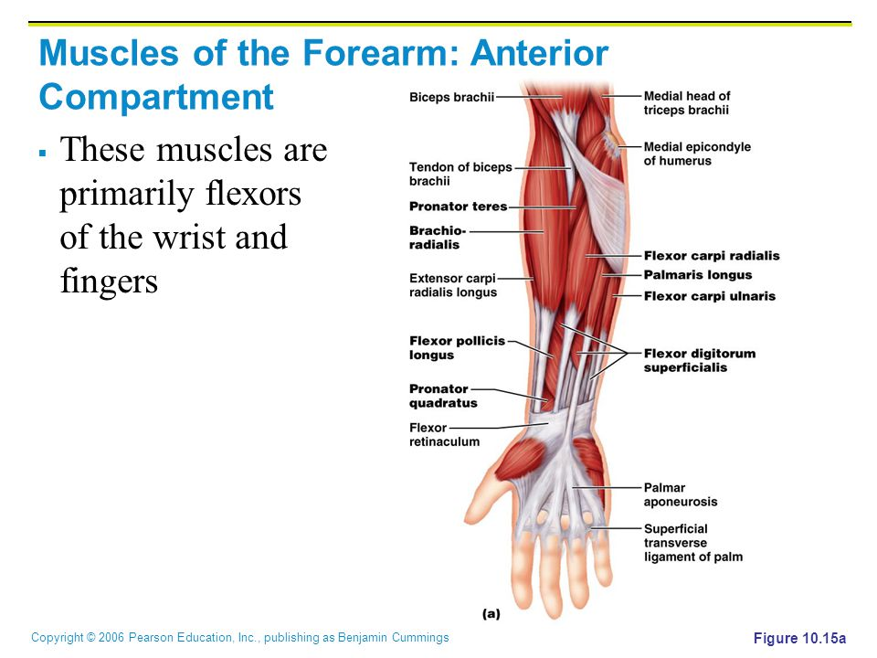 Copyright © 2006 Pearson Education, Inc., publishing as Benjamin Cummings Muscles of the Forearm: Anterior Compartment  These muscles are primarily f