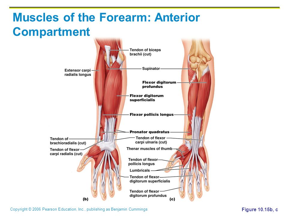 Copyright © 2006 Pearson Education, Inc., publishing as Benjamin Cummings Muscles of the Forearm: Anterior Compartment Figure 10.15b, c