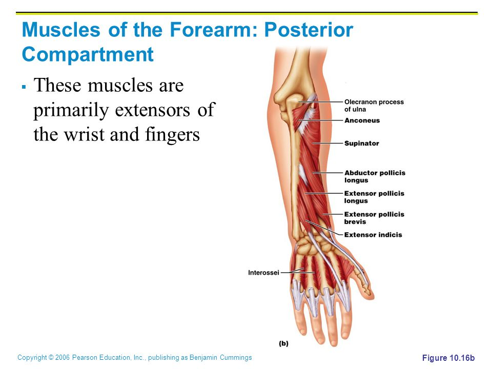 Copyright © 2006 Pearson Education, Inc., publishing as Benjamin Cummings Muscles of the Forearm: Posterior Compartment  These muscles are primarily