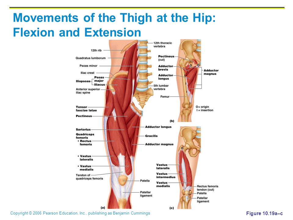 Copyright © 2006 Pearson Education, Inc., publishing as Benjamin Cummings Movements of the Thigh at the Hip: Flexion and Extension Figure 10.19a–c
