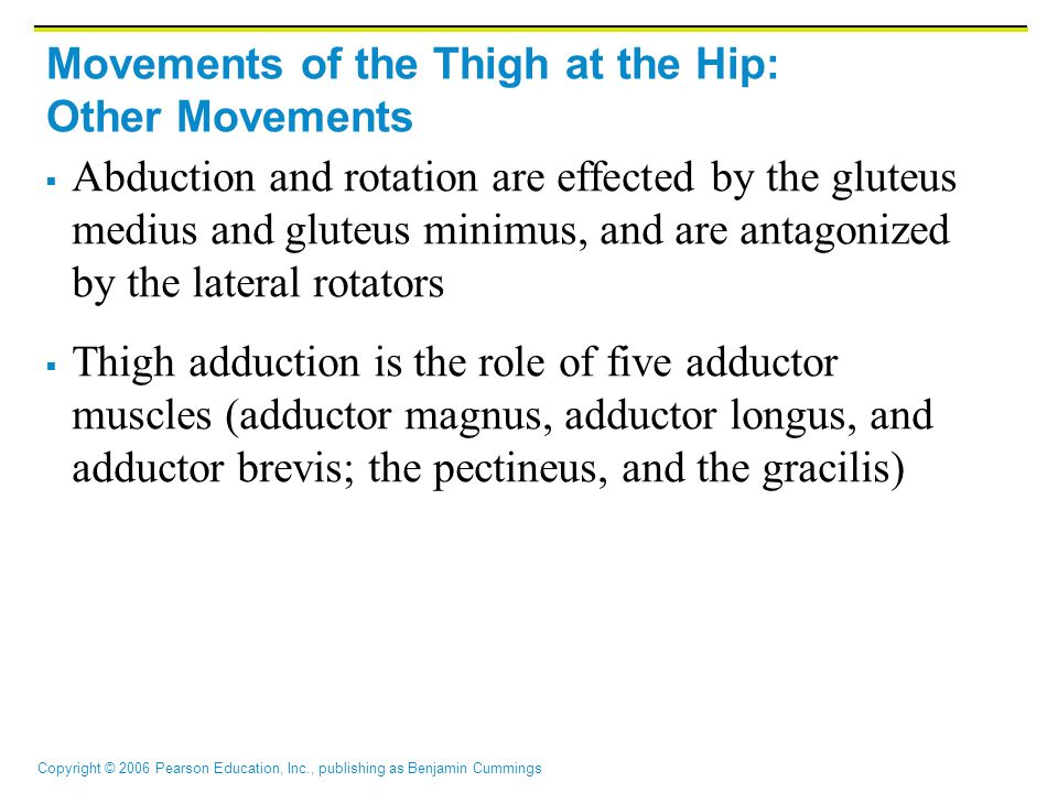 Copyright © 2006 Pearson Education, Inc., publishing as Benjamin Cummings Movements of the Thigh at the Hip: Other Movements  Abduction and rotation