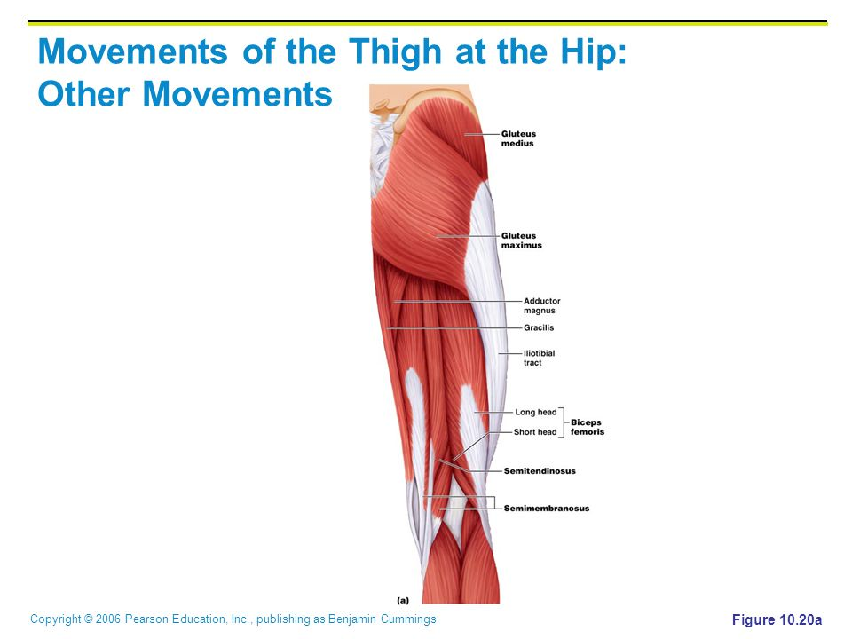 Copyright © 2006 Pearson Education, Inc., publishing as Benjamin Cummings Movements of the Thigh at the Hip: Other Movements Figure 10.20a