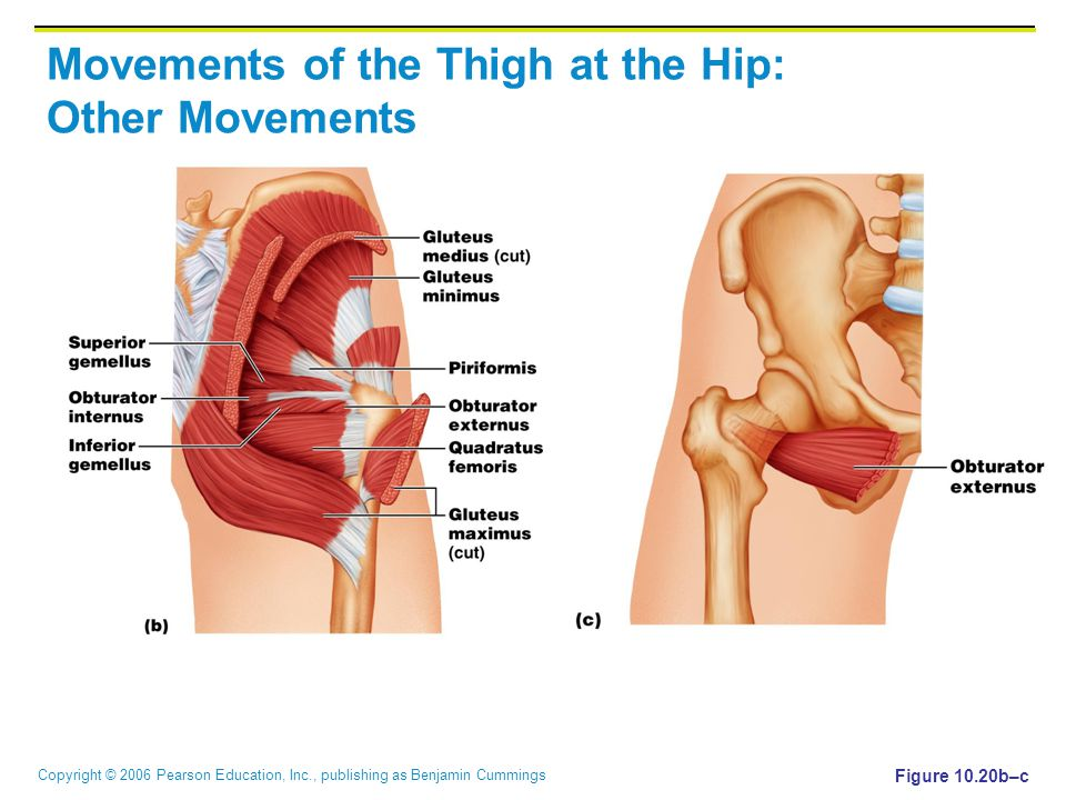 Copyright © 2006 Pearson Education, Inc., publishing as Benjamin Cummings Movements of the Thigh at the Hip: Other Movements Figure 10.20b–c