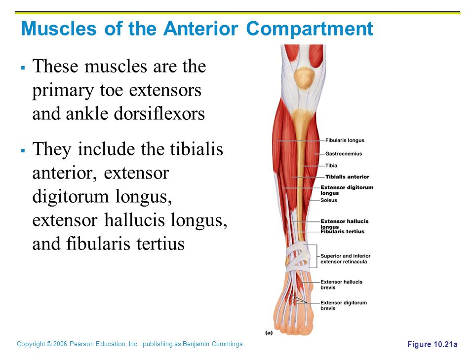 Copyright © 2006 Pearson Education, Inc., publishing as Benjamin Cummings Muscles of the Anterior Compartment  These muscles are the primary toe exte