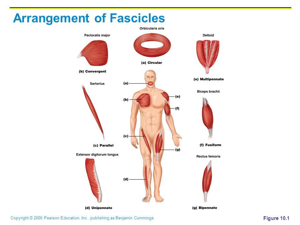 Copyright © 2006 Pearson Education, Inc., publishing as Benjamin Cummings Arrangement of Fascicles Figure 10.1