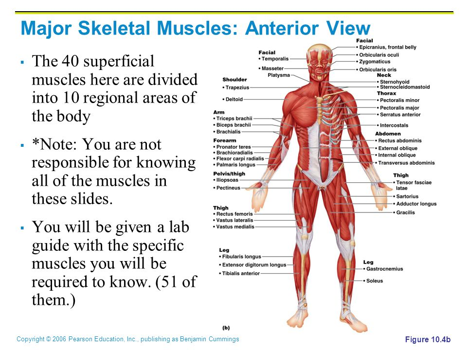 Copyright © 2006 Pearson Education, Inc., publishing as Benjamin Cummings Major Skeletal Muscles: Posterior View  The 27 superficial muscles here are divided into seven regional areas of the body Figure 10.5b