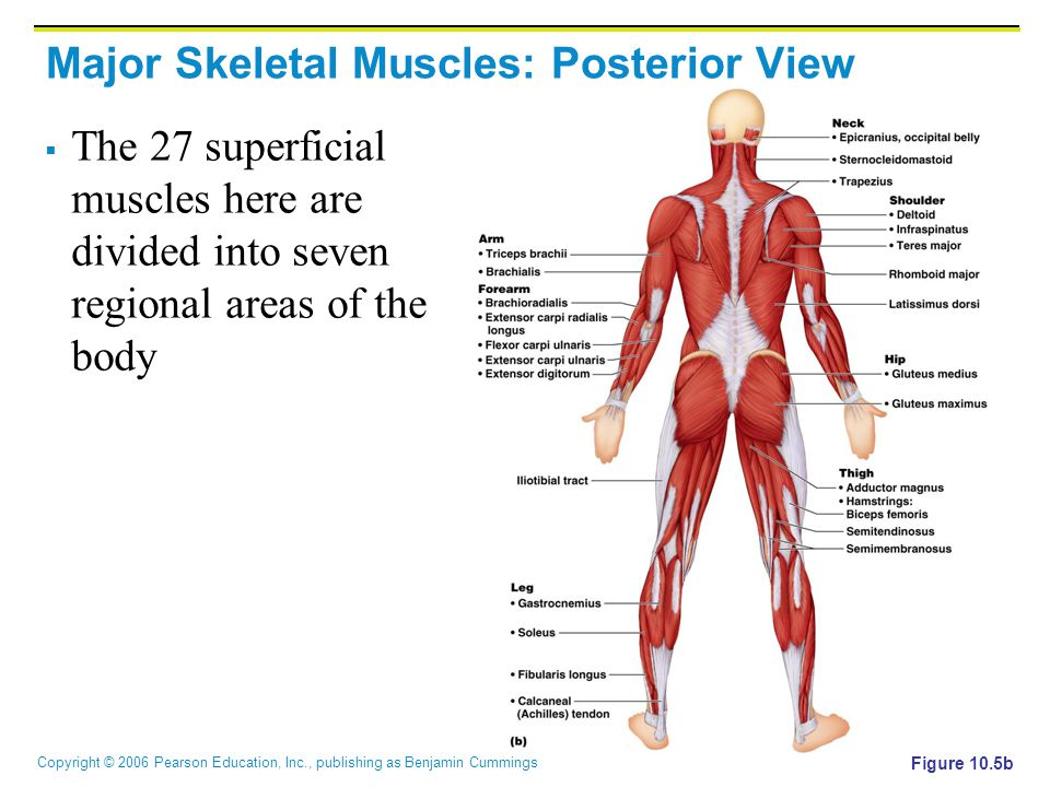 Copyright © 2006 Pearson Education, Inc., publishing as Benjamin Cummings Major Skeletal Muscles: Posterior View  The 27 superficial muscles here are