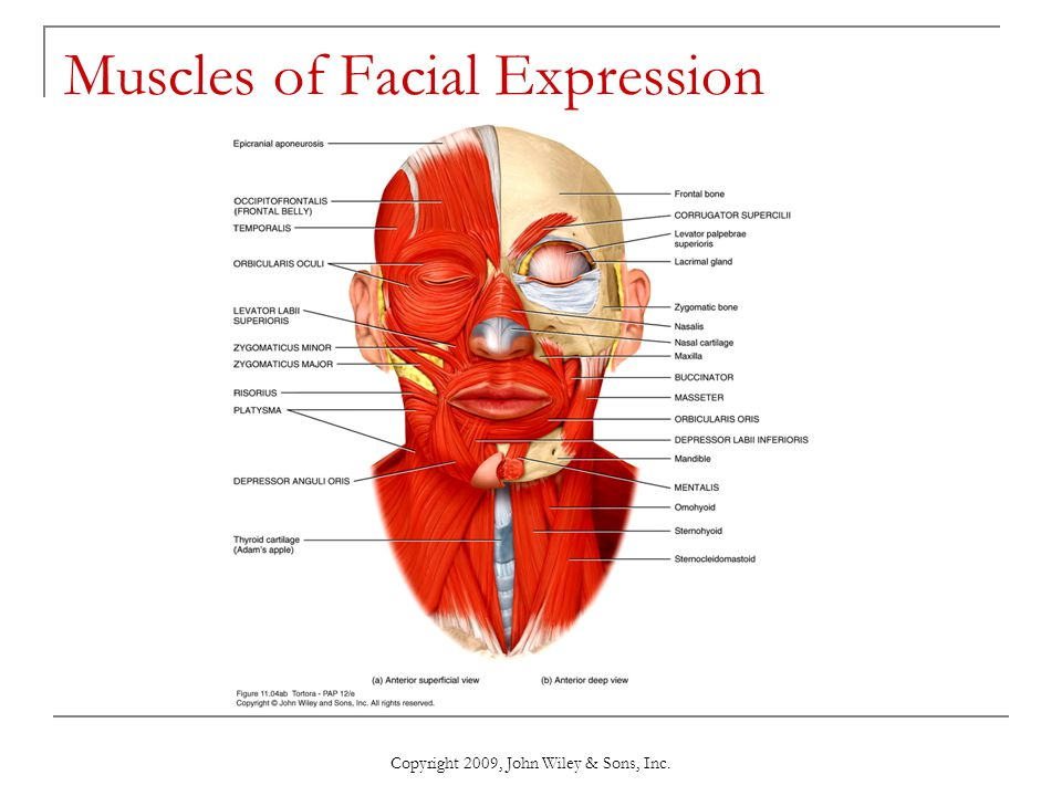 Copyright 2009, John Wiley & Sons, Inc. Muscles of Facial Expression