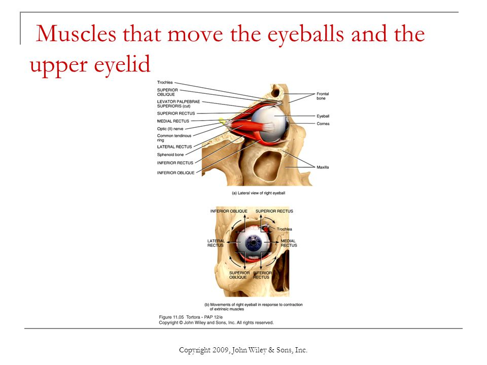 Copyright 2009, John Wiley & Sons, Inc. Muscles that move the eyeballs and the upper eyelid