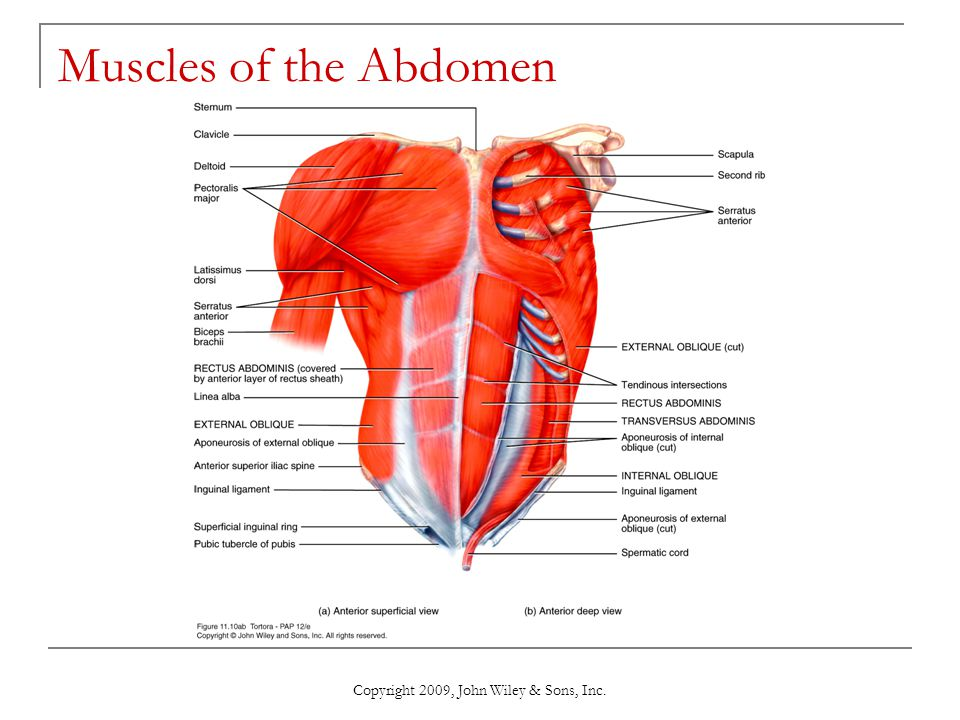 Copyright 2009, John Wiley & Sons, Inc. Muscles of the Abdomen