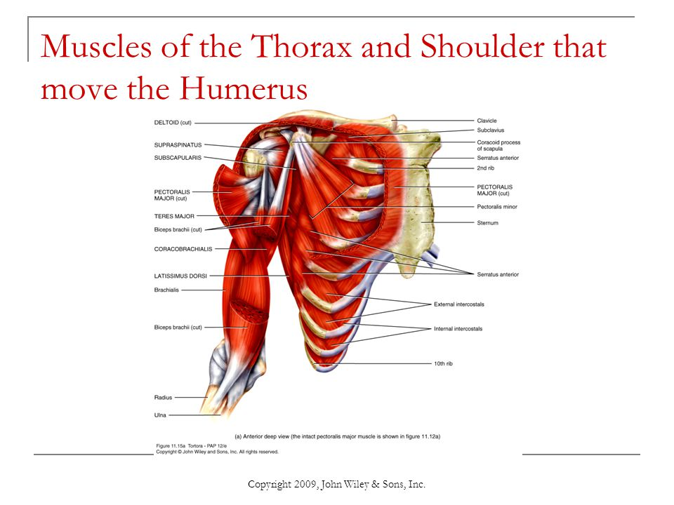 Copyright 2009, John Wiley & Sons, Inc. Muscles of the Thorax and Shoulder that move the Humerus