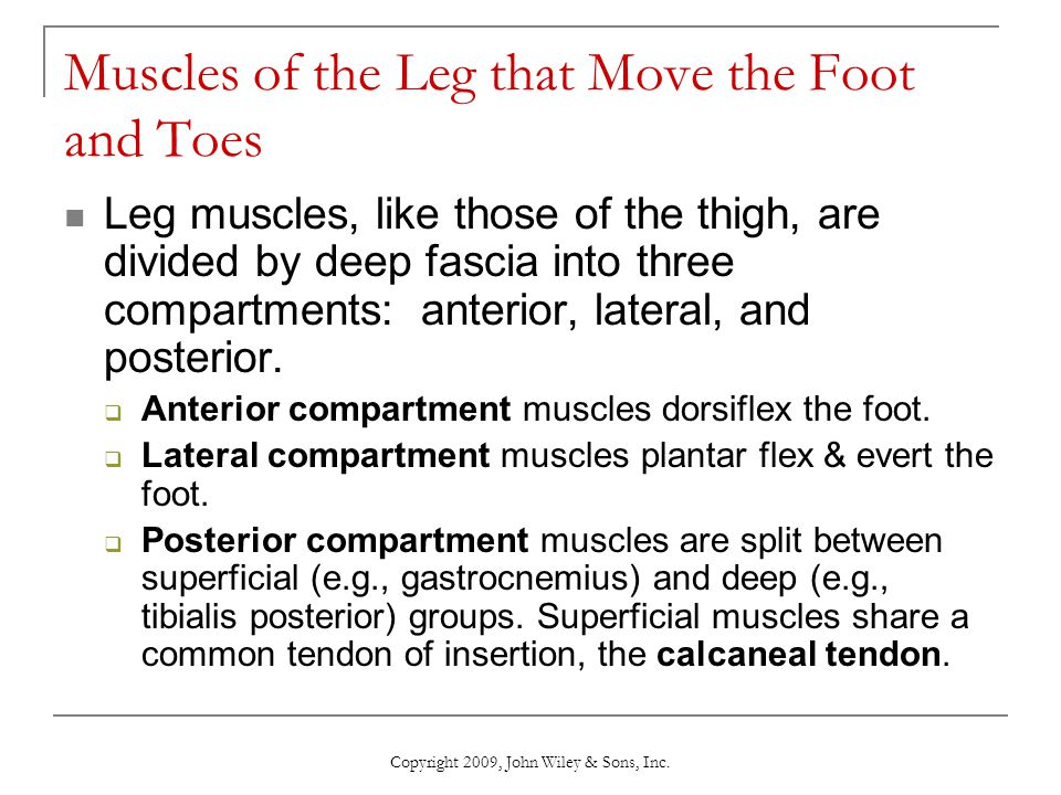 Copyright 2009, John Wiley & Sons, Inc. Muscles of the Leg that Move the Foot and Toes Leg muscles, like those of the thigh, are divided by deep fasci