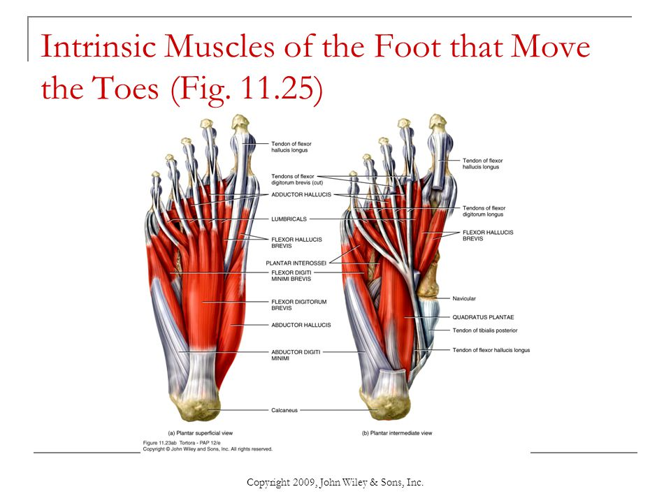 Copyright 2009, John Wiley & Sons, Inc. Intrinsic Muscles of the Foot that Move the Toes (Fig. 11.25)