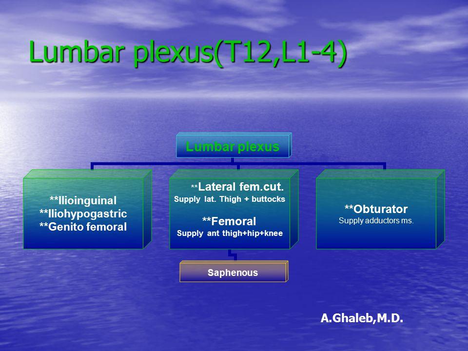Lumbar plexus(T12,L1-4) Lumbar plexus **Ilioinguinal **Iliohypogastric **Genito femoral **Lateral fem.cut. Supply lat. Thigh + buttocks **Femoral Supp