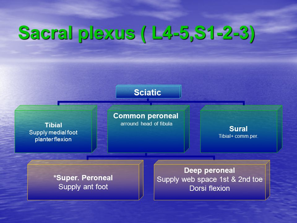 Sacral plexus ( L4-5,S1-2-3) Sciatic Tibial Supply medial foot planter flexion Common peroneal arround head of fibula *Super. Peroneal Supply ant foot