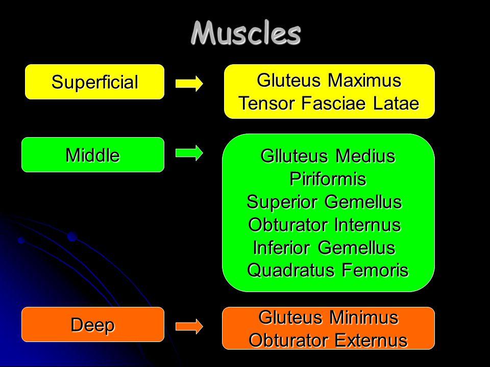 Muscles Superficial Middle Deep Gluteus Maximus Tensor Fasciae Latae Glluteus Medius Piriformis Superior Gemellus Obturator Internus Inferior Gemellus