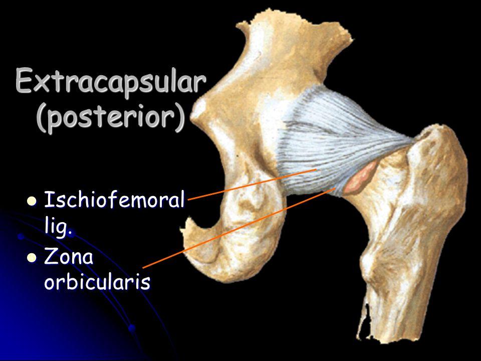 Extracapsular (posterior) Ischiofemoral lig. Ischiofemoral lig. Zona orbicularis Zona orbicularis