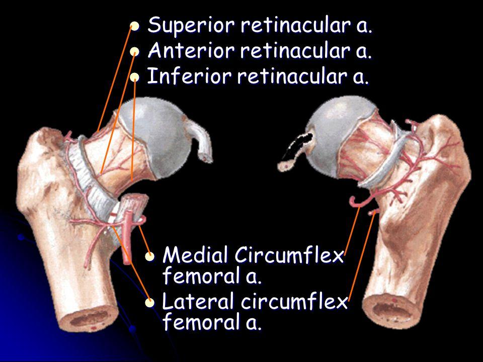 Medial Circumflex femoral a. Medial Circumflex femoral a. Lateral circumflex femoral a. Lateral circumflex femoral a. Superior retinacular a. Superior