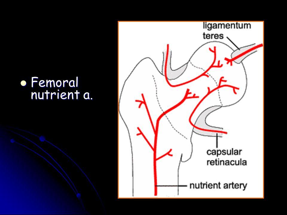 Femoral nutrient a. Femoral nutrient a.