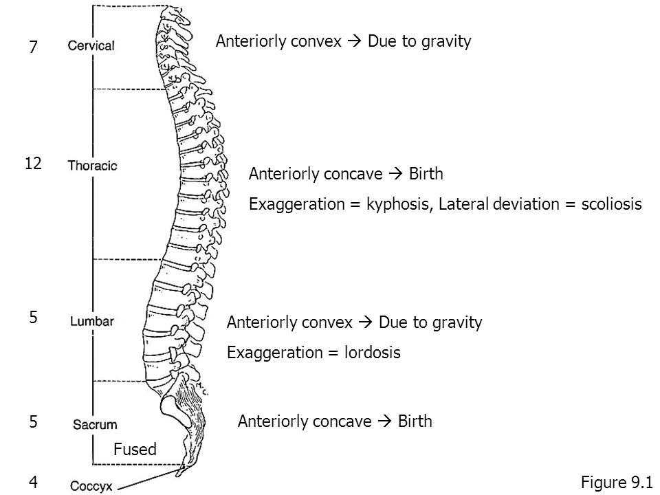 7 12 5 5 4 Fused Anteriorly convex  Due to gravity Anteriorly concave  Birth Exaggeration = kyphosis, Lateral deviation = scoliosis Anteriorly convex  Due to gravity Exaggeration = lordosis Anteriorly concave  Birth Figure 9.1