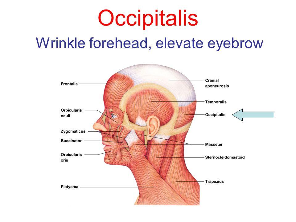 Occipitalis Wrinkle forehead, elevate eyebrow