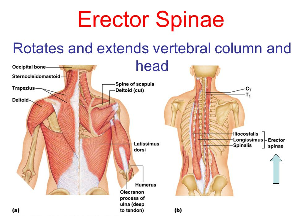 Erector Spinae Rotates and extends vertebral column and head