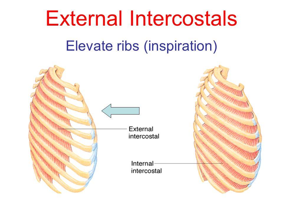 External Intercostals Elevate ribs (inspiration)